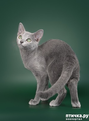 фото: Современная русская голубая кошка