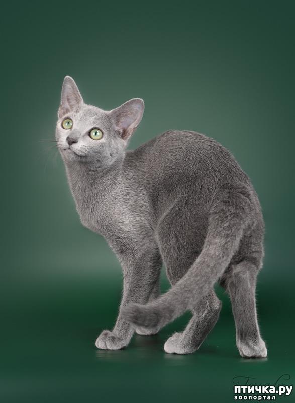 фото 1: Современная русская голубая кошка