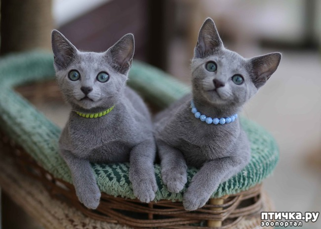 фото 2: Современная русская голубая кошка