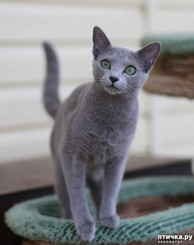 фото 3: Современная русская голубая кошка