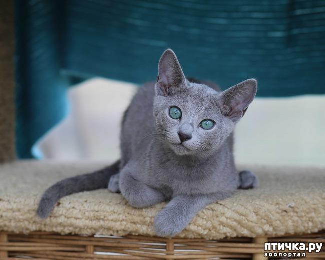 фото 4: Современная русская голубая кошка