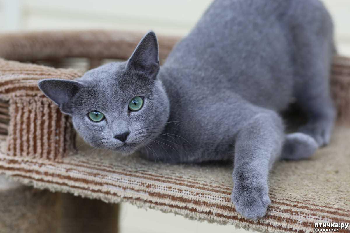 картинки с русского голубой кошкой вислоухий красавец сам