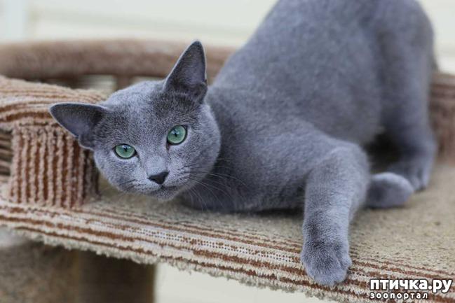 фото 5: Современная русская голубая кошка