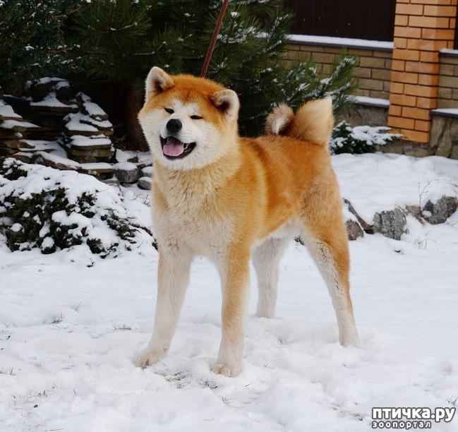 фото 1: Щенок Акита 9 мес. кобель Белая Гора С'Рей