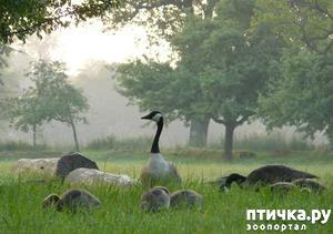 фото: Раннее утро, дикие гуси.