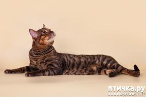 фото: ТОЙГЕР- комнатный тигрёнок.
