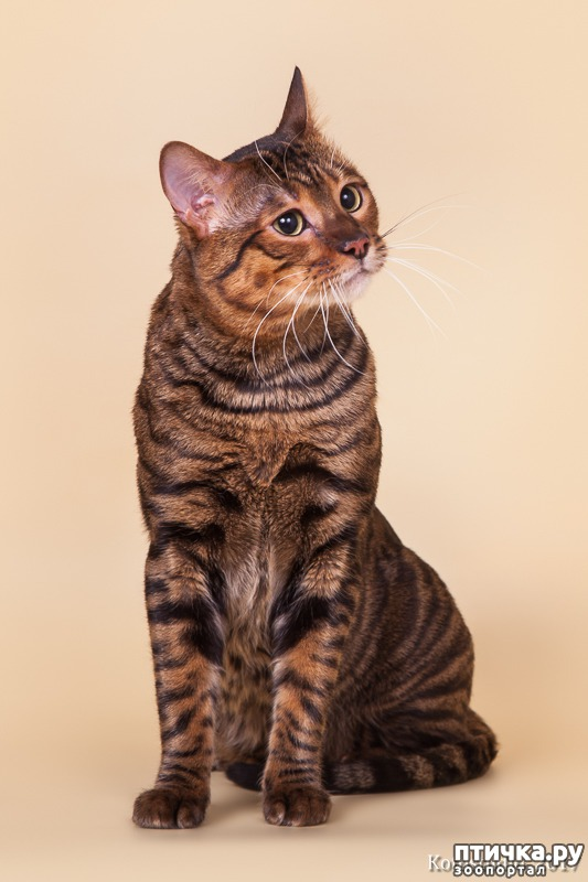 фото 2: ТОЙГЕР- комнатный тигрёнок.