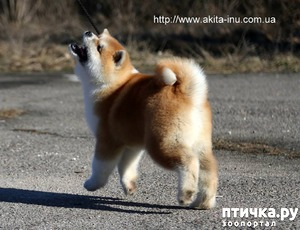 "фото: Щенок Акита из питомника ""Go You Djenima"""