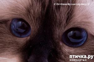 фото: Космические глаза Священной бирмы!