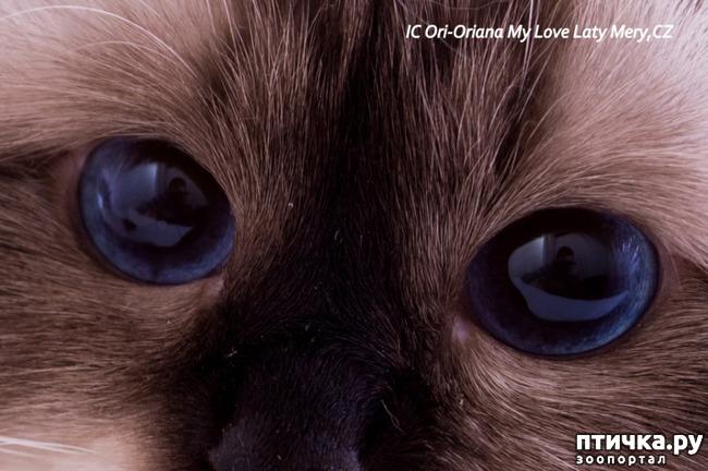 фото 1: Космические глаза Священной бирмы!