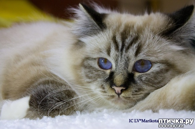 фото 2: Космические глаза Священной бирмы!
