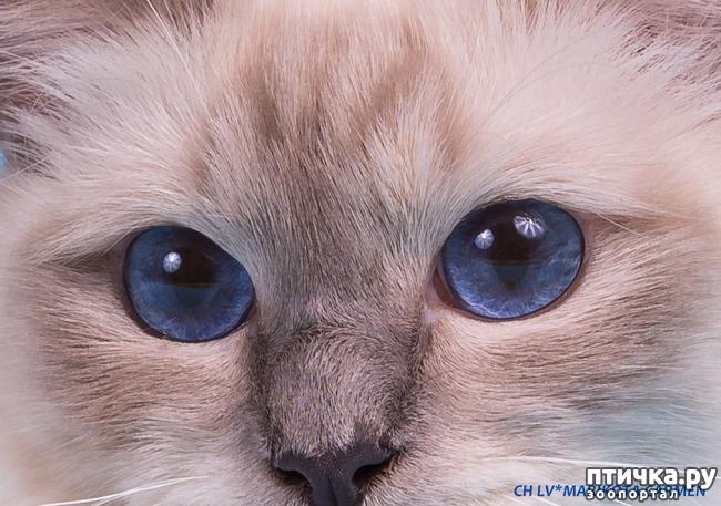 фото 3: Космические глаза Священной бирмы!