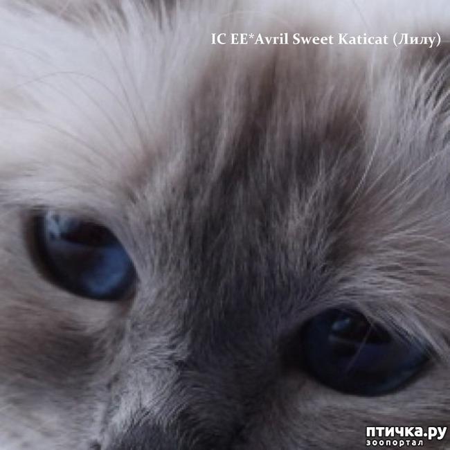 фото 4: Космические глаза Священной бирмы!