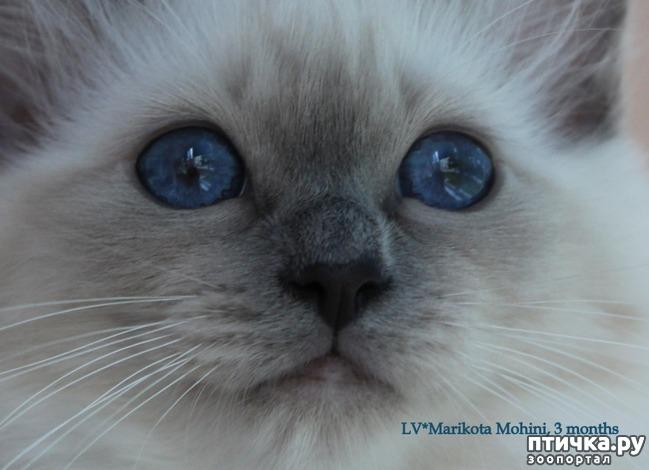 фото 5: Космические глаза Священной бирмы!