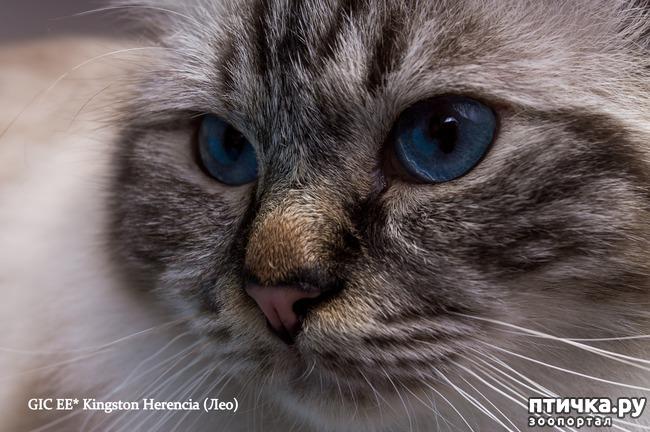 фото 6: Космические глаза Священной бирмы!