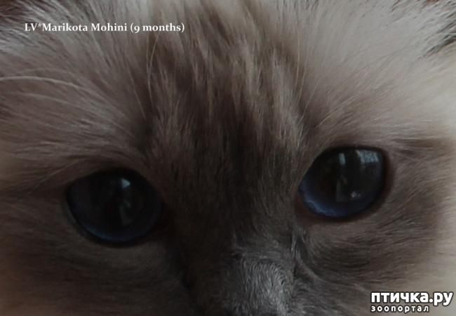 фото 7: Космические глаза Священной бирмы!