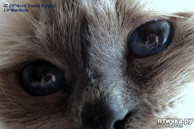 фото 8: Космические глаза Священной бирмы!