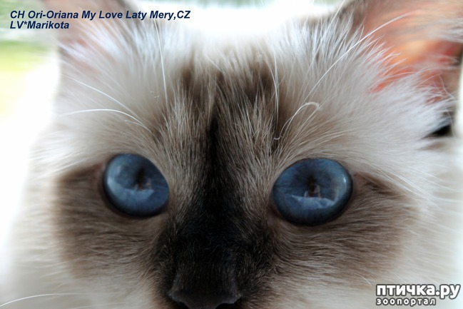 фото 9: Космические глаза Священной бирмы!