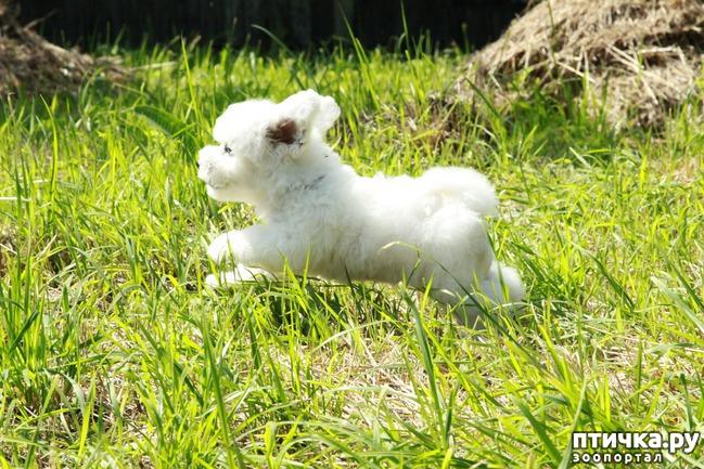 фото 1: Выбираем щенка бишон фризе