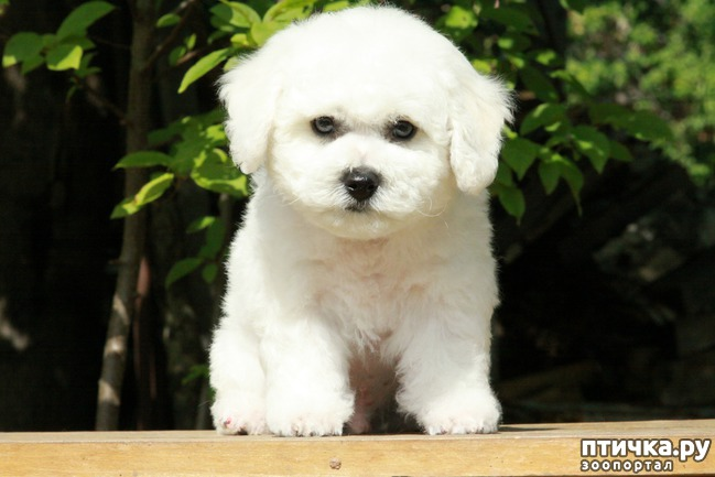 фото 2: Выбираем щенка бишон фризе