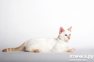 фото: Окрасы тайских кошек. Часть II.