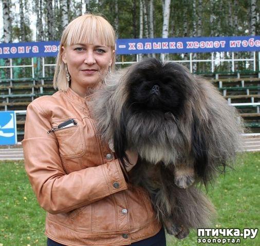 фото 5: Питомник пекинесов