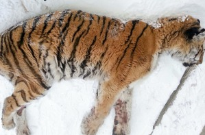 фото: Голодная и раненая тигрица пришла к людям просить о помощи