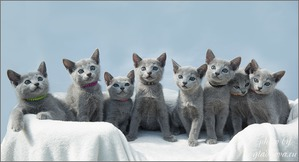 фото: Классификация породистых котят