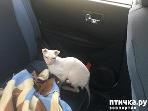 фото: Выбор котёнка украинского левкоя