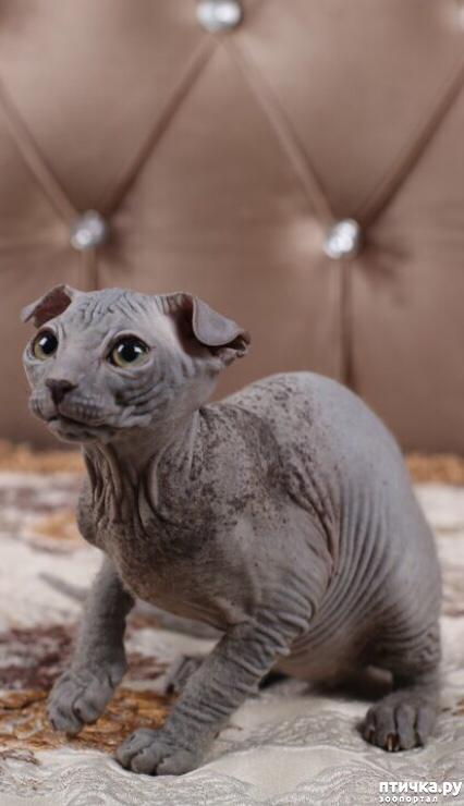 фото 3: Выбор котёнка украинского левкоя