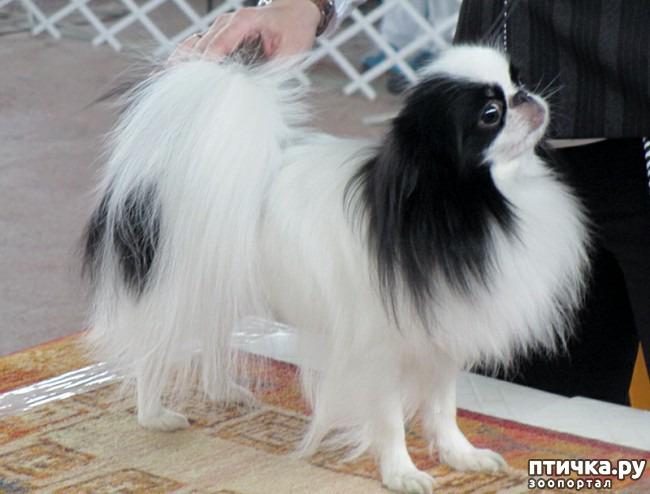 фото 2: Как выбрать щенка Японского хина.