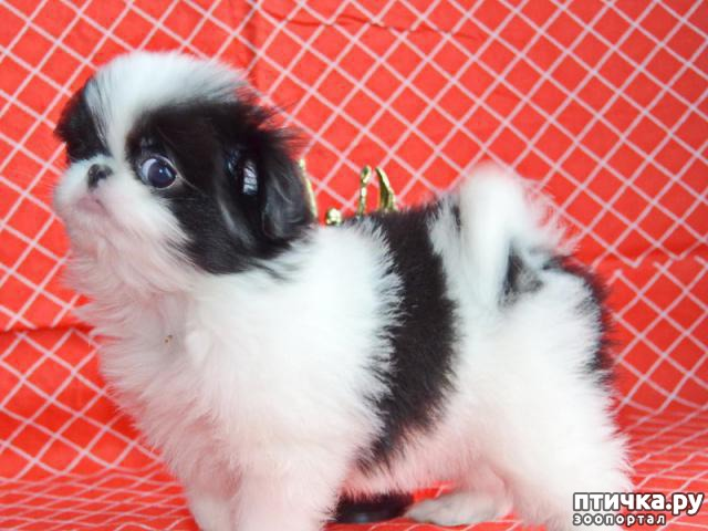 фото 1: Как выбрать щенка Японского хина.