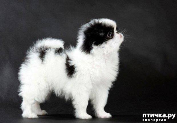 фото 3: Как выбрать щенка Японского хина.