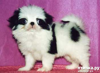 фото 5: Как выбрать щенка Японского хина.