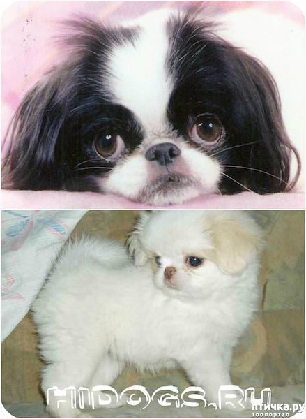 фото 6: Как выбрать щенка Японского хина.