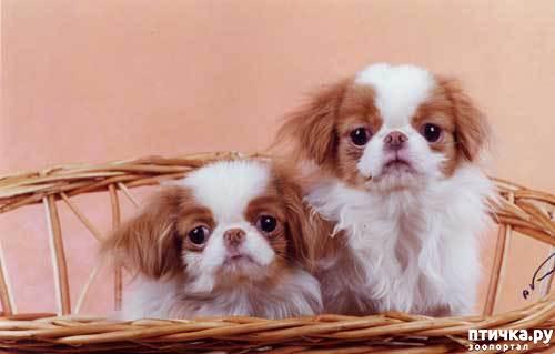 фото 7: Как выбрать щенка Японского хина.