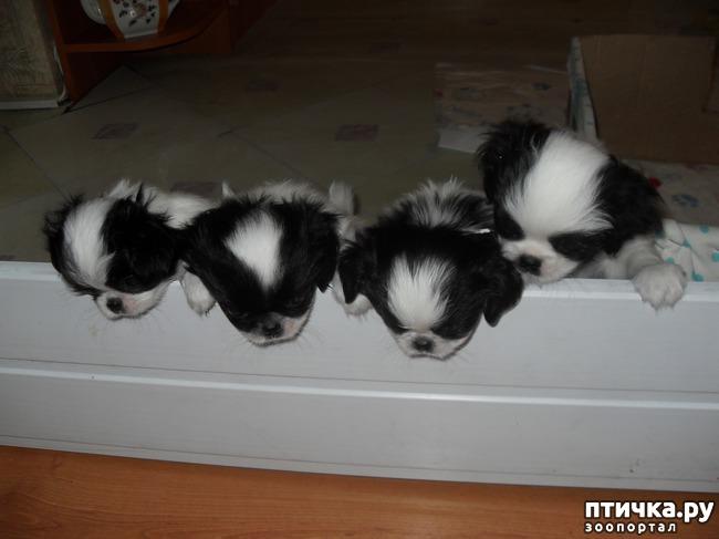 фото 8: Как выбрать щенка Японского хина.