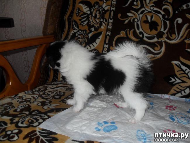 фото 9: Как выбрать щенка Японского хина.
