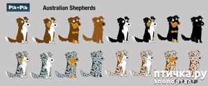 фото: Разнообразие окрасов Австралийской овчарки