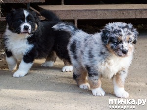фото: Наши щенки Австралийской овчарки