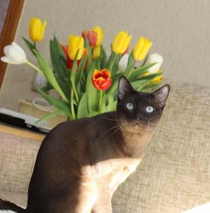 фото: Тонкинская кошка