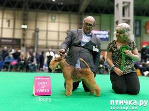 фото: Cruft`s 2018 - главная выставка в Англии