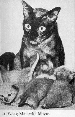 фото: Тонкинские кошки - начало