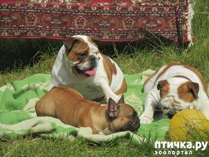 фото: Приглашаем в группу всех кто влюблен в породу Бульдог!