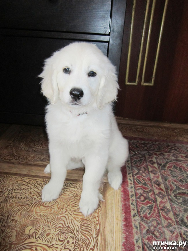 фото 1: Знакомьтесь щенки словацкого чувача.