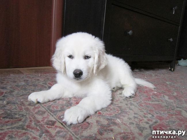 фото 2: Знакомьтесь щенки словацкого чувача.