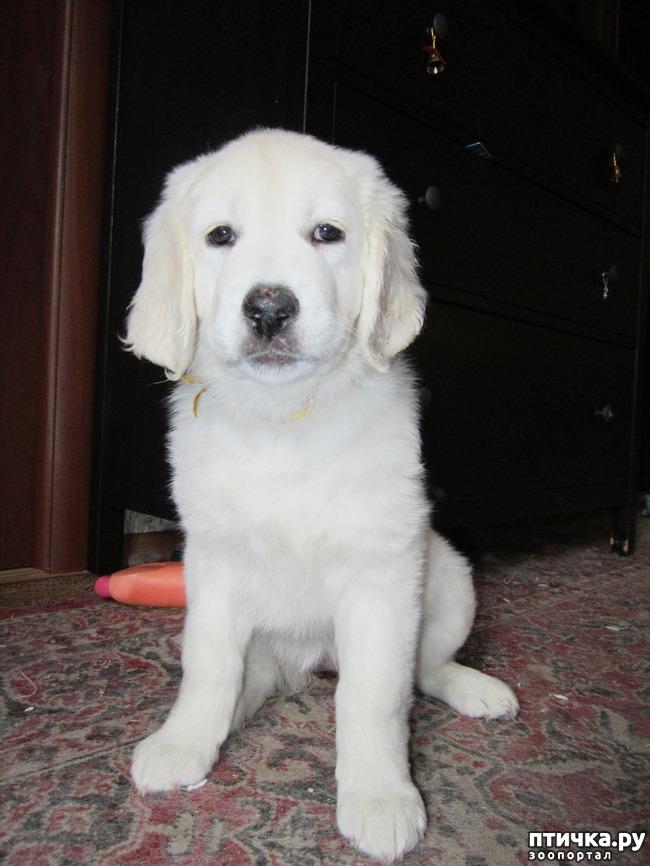 фото 4: Знакомьтесь щенки словацкого чувача.
