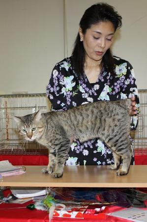 фото: Выставочные правила для кошек породы пикси-боб