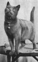 фото 2: История происхождения русской голубой породы кошек.