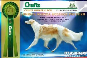фото: Впервые борзая из России выиграла легендарную выставку CRUFTS!